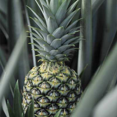 pineapple2-quality